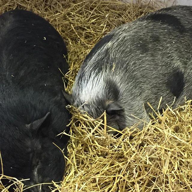 _Wake me when winter is over_ #lazysunday #pigsofinstagram #cedarcrestfarmandfeed #farmlife #toocold