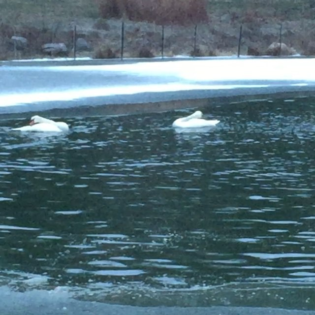 Morning winter frolicking #swansofinstagram #swansync #cedarcrestfarmandfeed #lifeonafarm #cedarcres