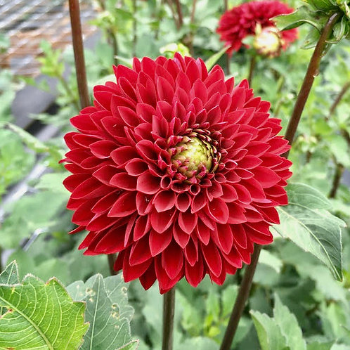 Night Queen Dahlia