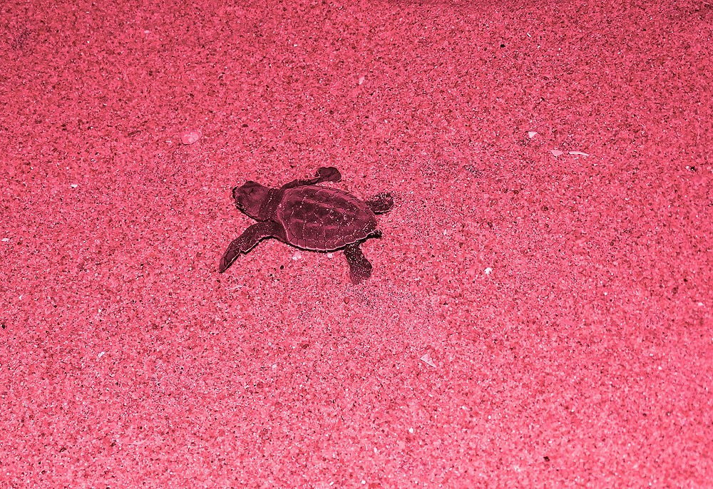 Baby turtle moving towards sea