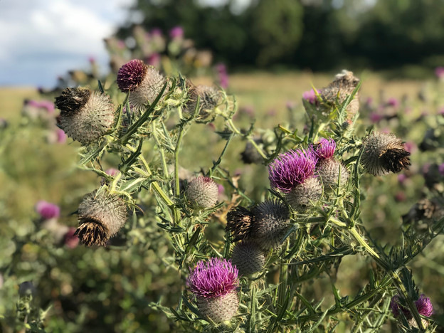 Gorgeous huge thistles fed the bees for weeks this summer