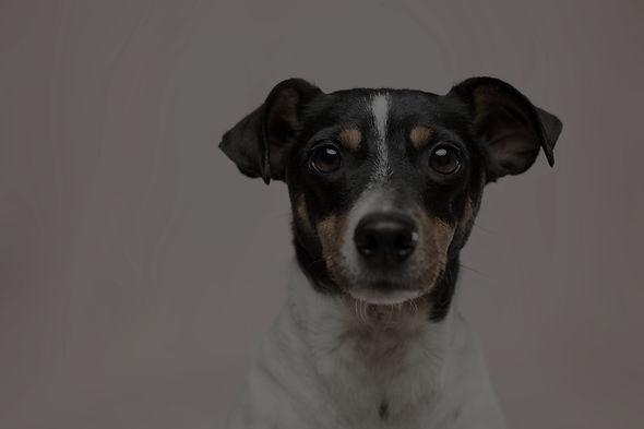 Black, White, & Brown Dog Looking Forward