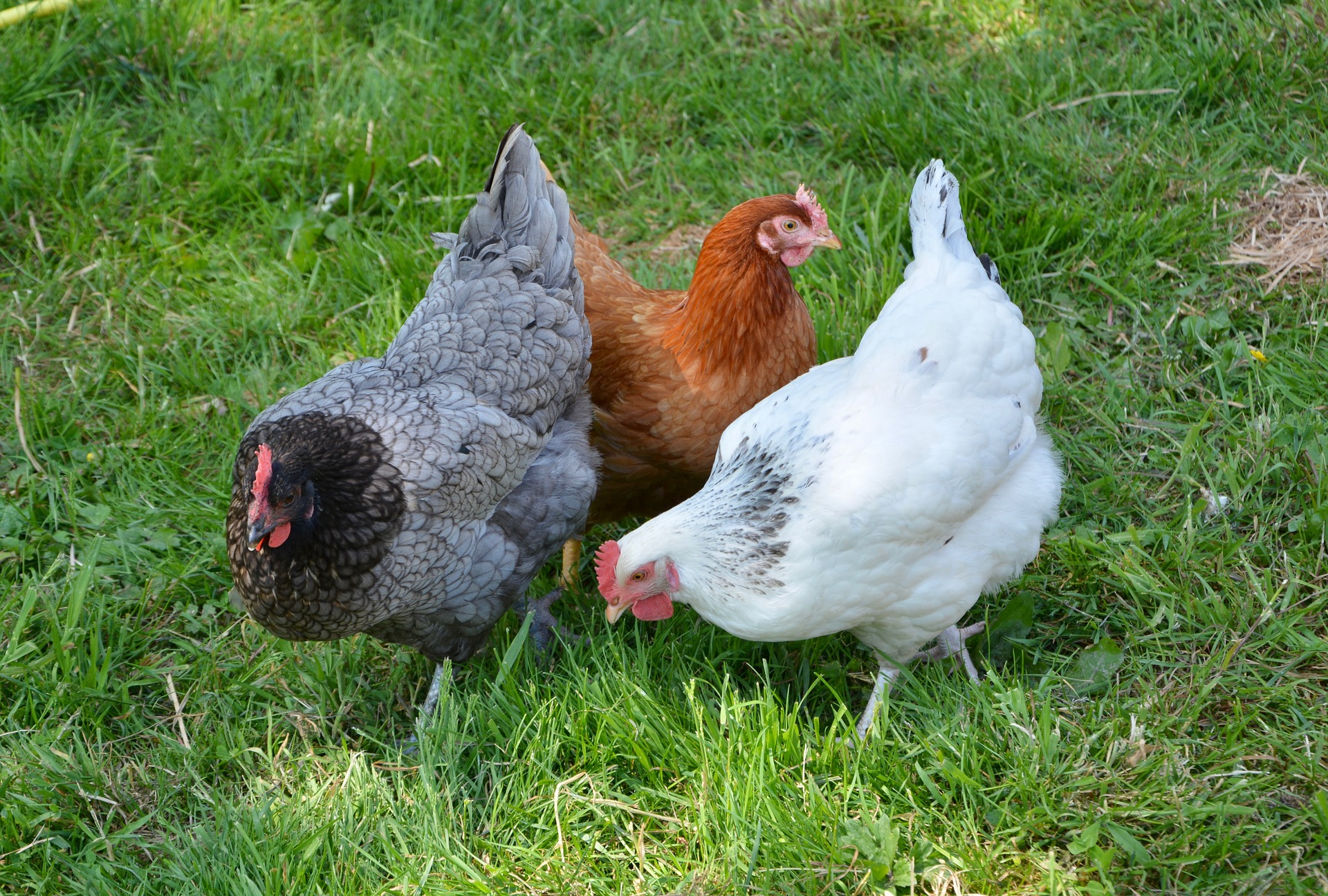 hens-3420126_1920