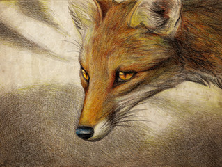 The artwork in Robin & Rudyard... Introducing Culpeo S. Fox