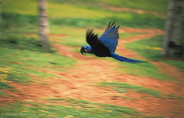 Arara Azul - Hyacinth macaw
