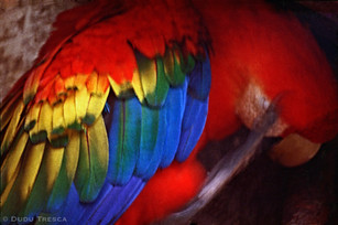 Araracanga - Scarlet macaw