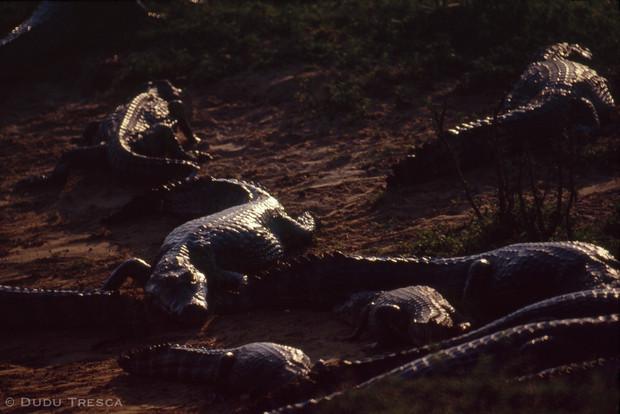 Jacaré-do-Pantanal, Yacare caiman