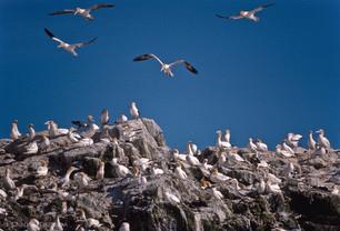 Gannets - Fous de Bassan