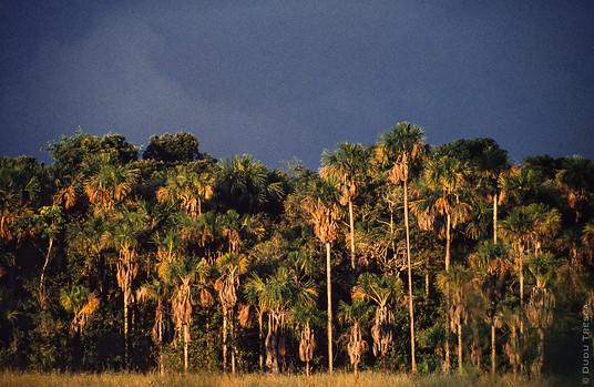 Buritis - Maraca National Park