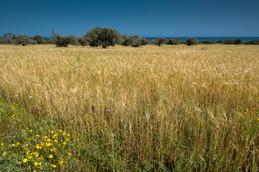 Cyprus - Olive