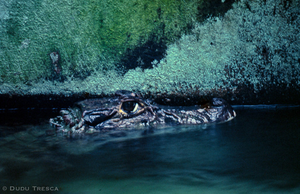 Jacaré - Alligators