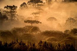 Araucaria - Monte Verde - MG - Brasil