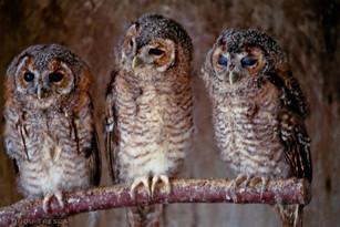 Coruja - Little Owl