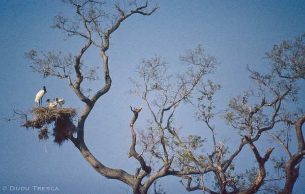 Jaburu (Jabiru mycteria) Tuiuiú