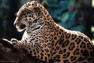Onça Parda - Panthera onca