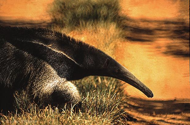 Tamanduá-Bandeira - Giant anteater
