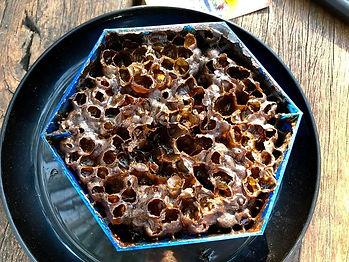 Hive Haven native bee honey & propolis f
