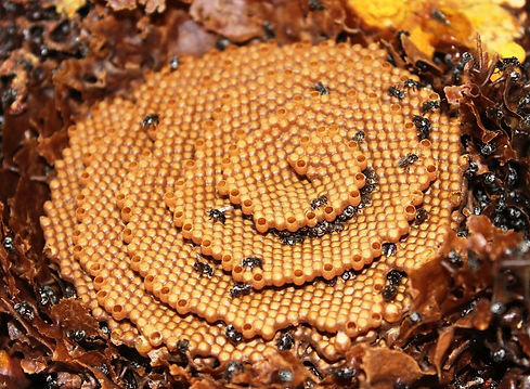 stingless native bee hive.jpg