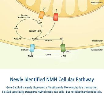 NMN作用のメカニズム