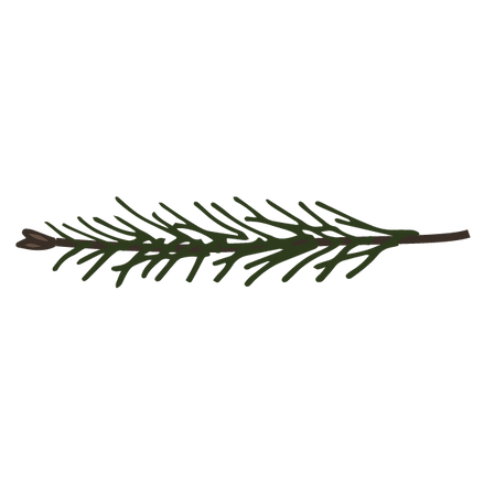 Las ramas de pino Spruce 11