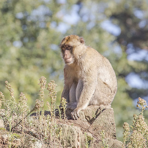 Rencontre privilège macaque de Barbarie