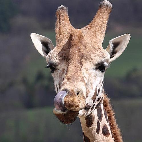 Rencontre privilège girafe