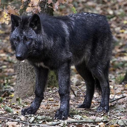 Rencontre privilège loup du Canada