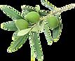 ramoscello-ulivo-png-5.png