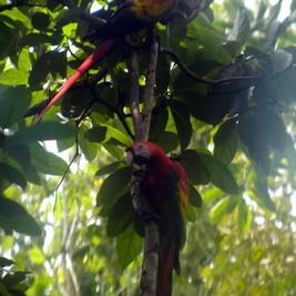 287 scarlet macaws.JPG