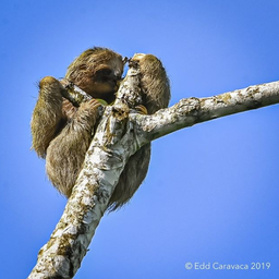 sloth eating.png