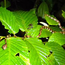 brown blunt-headed vine snake.JPG