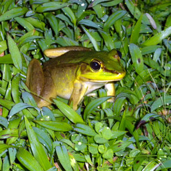 Web-footed Frog