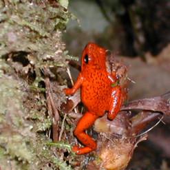 Posion Dart Frog