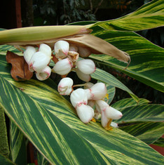 Shell Ginger Genus - Alpinia Species - z