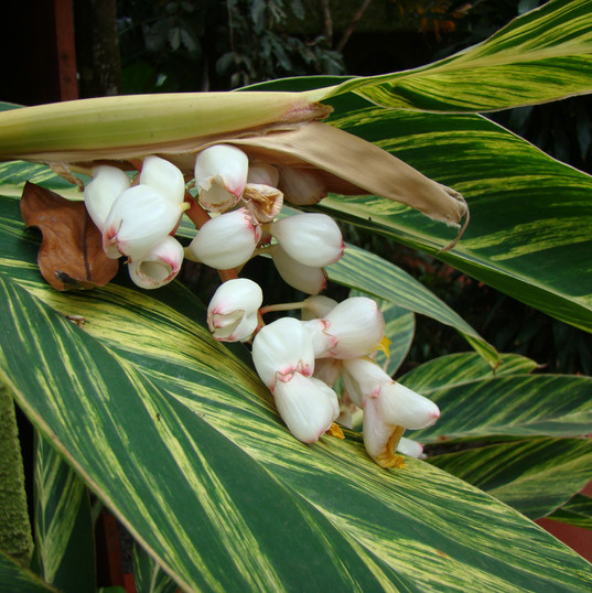 Shell Ginger Genus - Alpinia Species - z