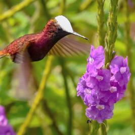 snowcap hummingbird.jpg