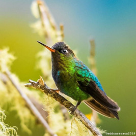Firey throated Hummingbird