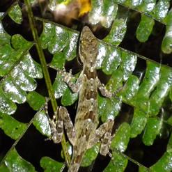 Spotted Dwarf Gecko