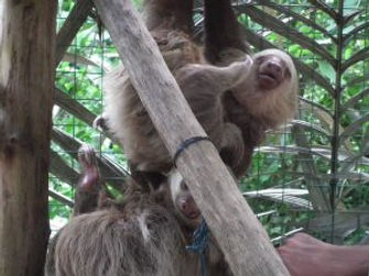65-Mother-and-baby-sloth-at-Proyecto-Asi