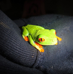 Red eyed leaf frog by Gonz