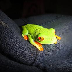Red eyed leaf frog by Gonz
