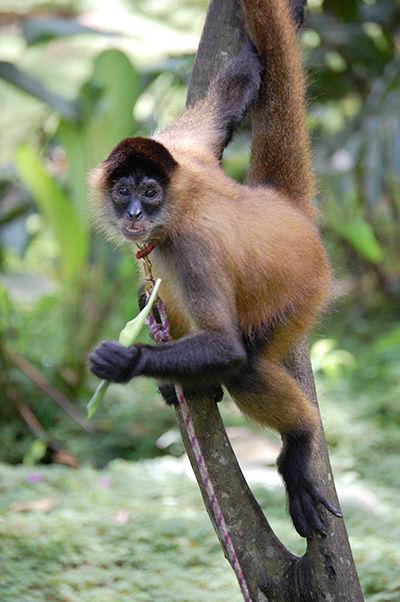 Panama_spider_monkey_Costa_Rica.jpg