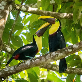 yellow throated toucan pair.png