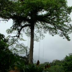 Huge trees.jpg