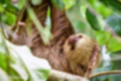 three toed sloth.jpg