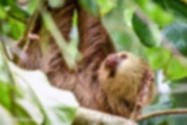 three toed sloth.jpg