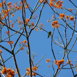 Parrots in Poro Tree - Erythrina peoppig