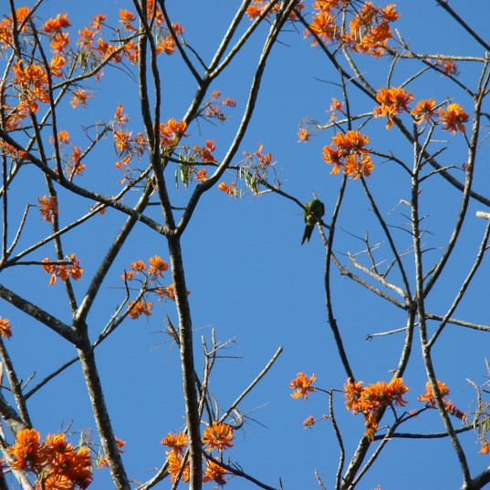 Parrots in Poro Tree - Erythrina peoppig