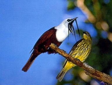 bell_bird.jpg
