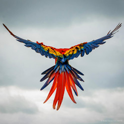 macaw in flight.jpg